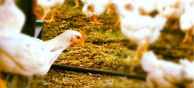 chickens roaming free in field