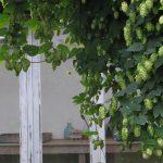 hops growing on vines