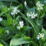 wild garlic growing with flowers