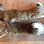 2 rabbits caught - game meat