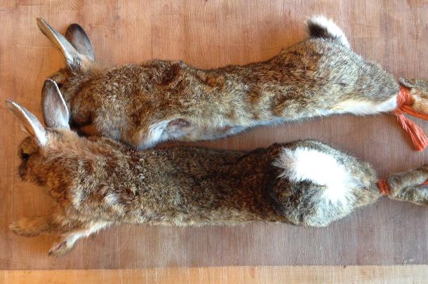 Wild rabbit: fair game