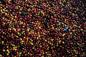 Origins & species: Colombian coffee & beyond