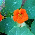 edible flowers in garden