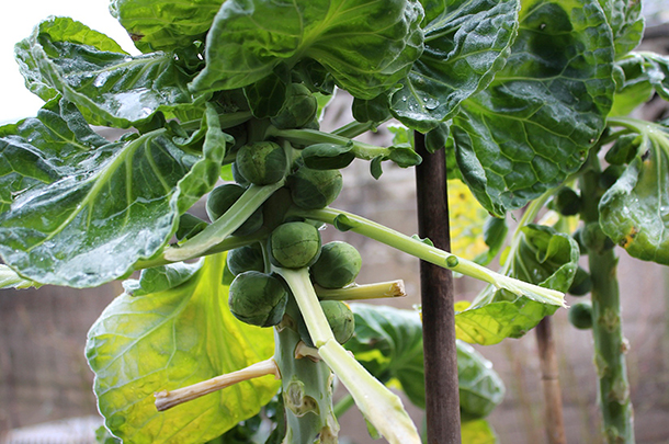 brussels sprouts growing on a plant