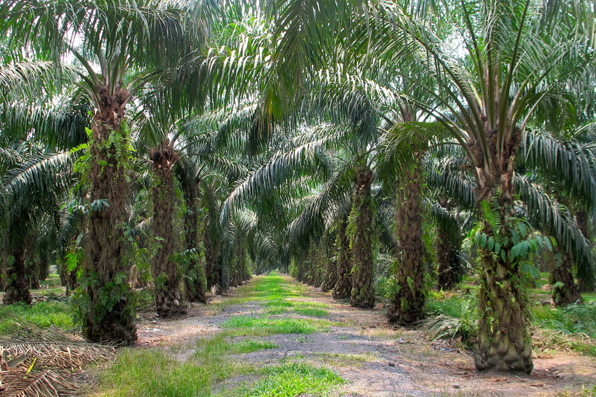 Palm Oil A Balanced View Jamie Oliver
