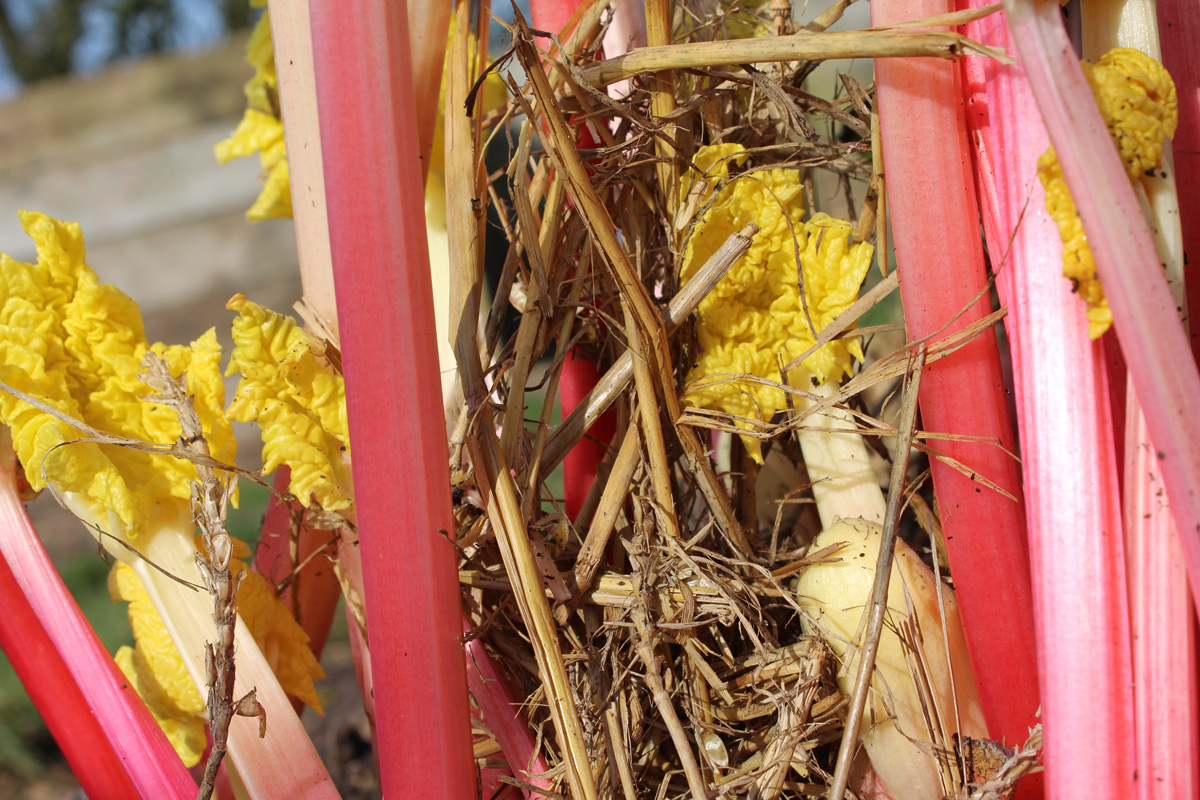marchseasons_rhubarb