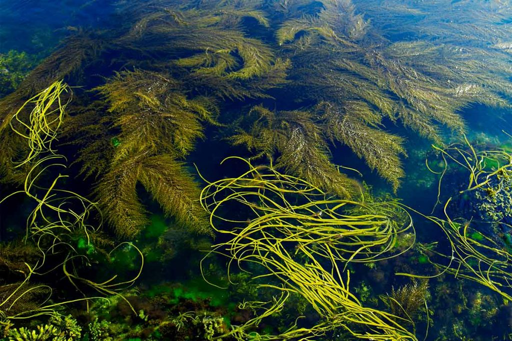 seaweed in the sea