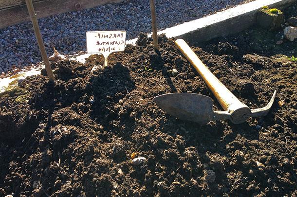 growing parsnips