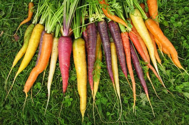 growing carrots
