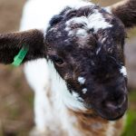 when should we eat lamb feature image