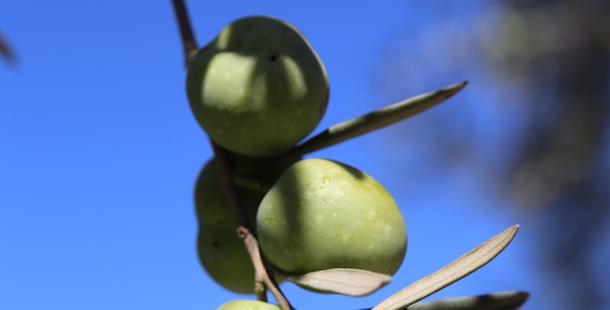 olivesmaltafeatured